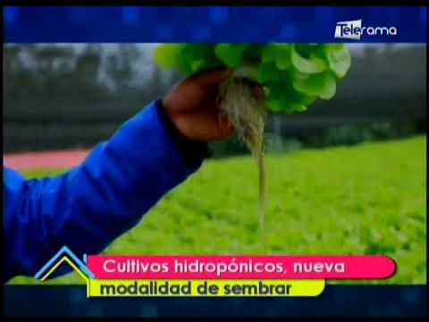 Cultivos hidropónicos, nueva modalidad de sembrar