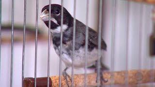 Polícia Ambiental orienta criadores para inibir comércio clandestino de pássaros