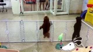 Dancing, Marching&Jumping Choco Poodle Dog