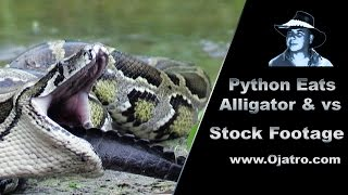Python Eats Alligator 01 - Stock Footage