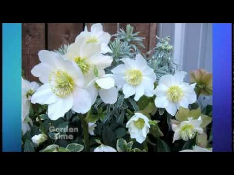Hellebore Pink Frost - We have a great plant pick this week. Jonah is a good hellebore for all winter color in your garden.