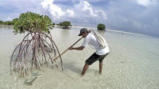 Video SPEAR Fish and Crabs on the beaches of many mangroves is abundant MP3, 3GP, MP4, WEBM, AVI, FLV Mei 2019