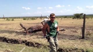Na ratunek żyrafie. Zablokowała się w elektrycznym pastuchu