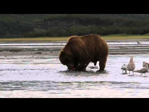 Brown Bear Cub Really Wants A Fish