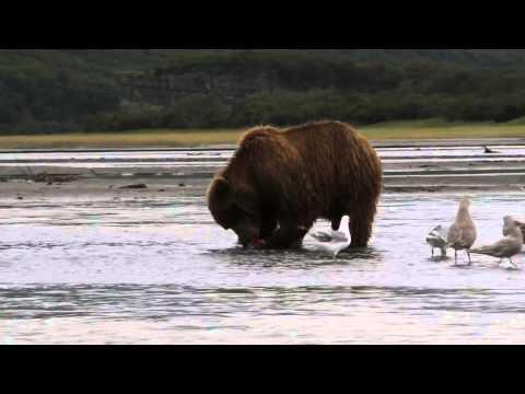 Brown Bear Cub Really Wants A Fish