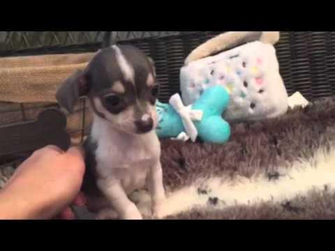 Precious little chihuahua