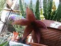Stapelia gradiflora Succulent Plant with MAGNIFICENT Flower and bud