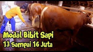 Video Modal Pembelian Bakalan 13-16 Jutaan - Peternak Sapi Sukses  Bapak mardi Pono Tukul Dk. Tanianyar MP3, 3GP, MP4, WEBM, AVI, FLV Januari 2019