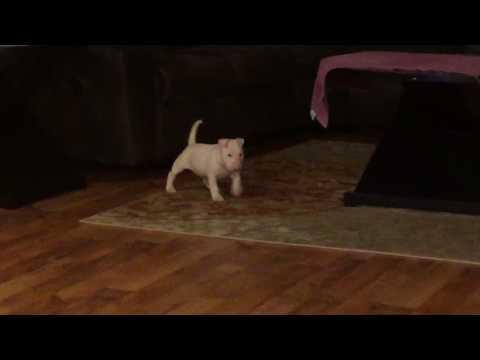 AKC Show Prospect Bull Terrier Puppy Pip