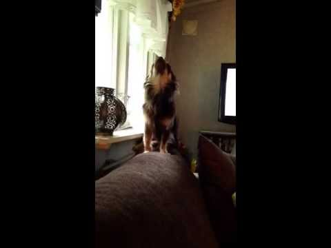 Cute puppy chihuahua howling for mommy