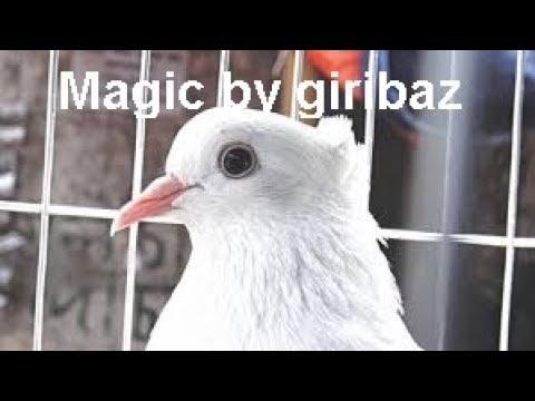 Video Magic by giribaz pigeon download in MP3, 3GP, MP4, WEBM, AVI, FLV January 2017