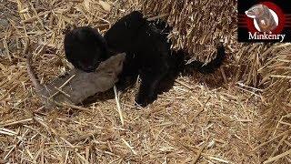 Video Brocc the Mink and Onsa the Lurcher Catch 63 Rats!!! MP3, 3GP, MP4, WEBM, AVI, FLV Maret 2019