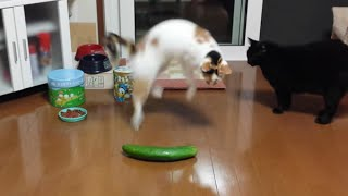 Funny Cats Scared of Random Things and Cucumbers Compilation! Check out these hilarious cats getting startled by all sorts of ...