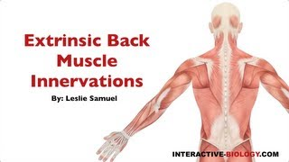 094 Innervations Of The Extrinsic Back/Shoulder Muscles