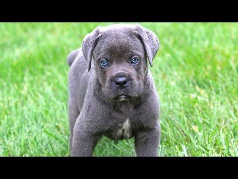 cuccioli di cane corso veramente dolcissimi!