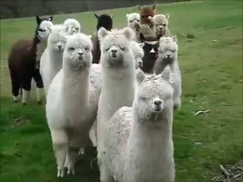 funny animals - I Hope You Laugh so much ;D SUBSCRIBE PLEASE ITS FREE http://www.youtube.com/subscription_center?add_user=fr0zenNCF.