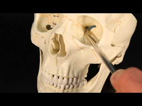 sphenoid suchergebnisse, Human body