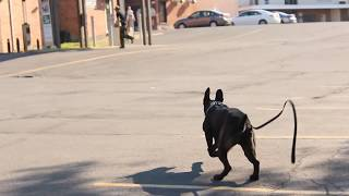 Training for real situations to respond without command. A real bodyguard.This is the reason why I train dogs to respond without command and from far away from the master. Sometimes you do not see the bad guy coming....But he sees everything and protects you without you asking him. A real bodyguard.