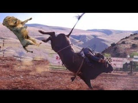 LION vs BUFFALO REAL FIGHTS   BUFFALO ATTACK LION 2017