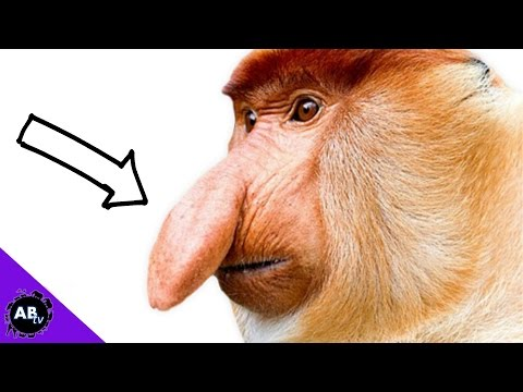 Video Monkey With A Penis Nose : 5 Weird Animal Facts - Ep. 34 : AnimalBytesTV download in MP3, 3GP, MP4, WEBM, AVI, FLV January 2017