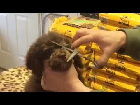 How we trim our schnoodles faces to cut down the tearing!  Yes you can do it!!!