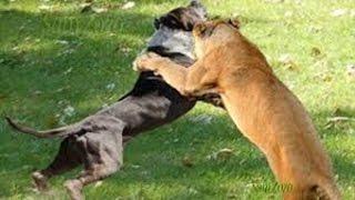 Video Spectacular attacks of wild animals. Fight for survival. Fighting animals MP3, 3GP, MP4, WEBM, AVI, FLV Desember 2018