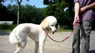 Training Day 1 -- 2 Y/o Rescued Std. Poodle