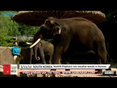 KOSHIK ELEPHANT VOCALIZE HUMAN SOUNDS AT SOUTH KOREA NOVEMBER 5 2012