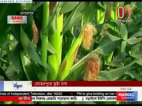 Corn cultivation in Meherpur (19-02-2018)