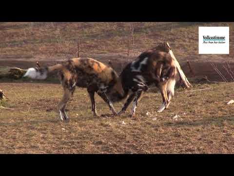 Magdeburg: Die Wildhunde im Zoo Magdeburg