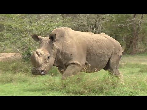 Последний единорог: в Кении умер единственный самец северного белого носорога (видео)
