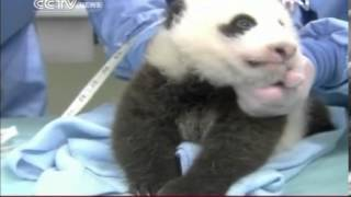 VIDEO  San Diego Zoo panda cub's eyes fully open