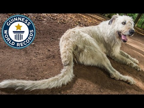 Dog Earns Guinness World Record for Longest Tail
