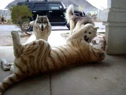 Tygrys i psy
