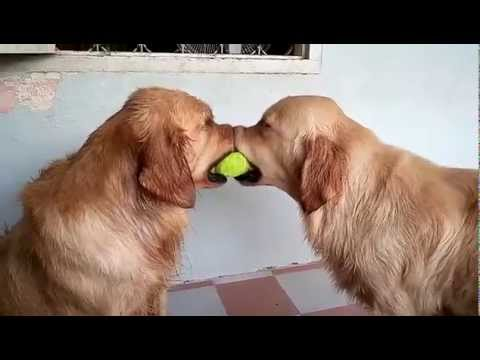 Dogs Play Tug Of War
