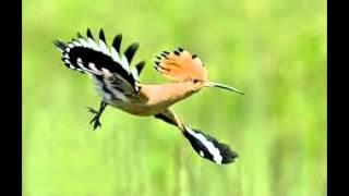 download lagu download musik download mp3 burung (bird) YANG termahal dan langka di dunia SEHARGA 5 MILYAR