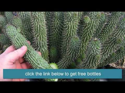 Hoodia To Lose Weight