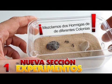 SE AMARAN O SE MATARAN ?? - MEZCLAMOS 2 HORMIGAS DE DIFERENTES COLONIAS !