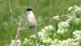 Video Male Lesser Grey Shrike (Lanius minor), Techirgiol, Dobrogea MP3, 3GP, MP4, WEBM, AVI, FLV Agustus 2018