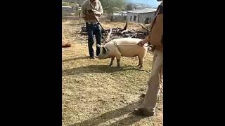 Video A si se matan los cerdos en Moris Chihuahua jaja gran lección MP3, 3GP, MP4, WEBM, AVI, FLV November 2017
