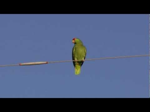 Red-crowned parrot. San Benito Texas 2012-10-12