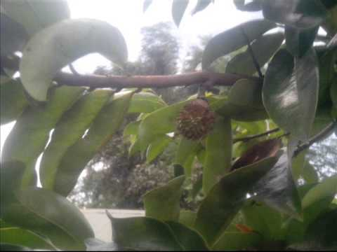 Growing soursop from seed to fruit