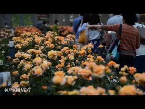 伊丹のバラ園で1万本が満開