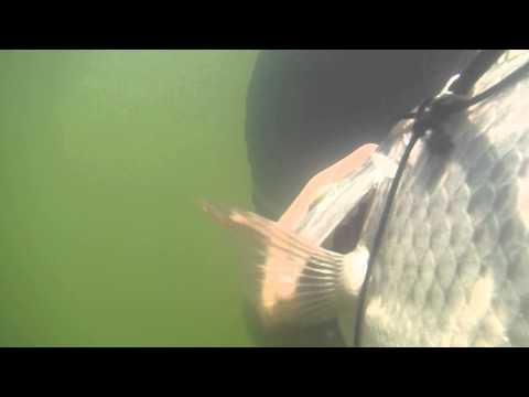 pesca con arpon - pesca de mojarra tilapia con arpon en el rio balsas, peso aproximado un kilogramo.