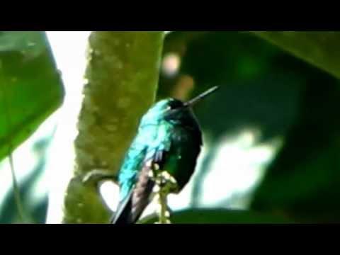 Endemic -Sapphire-Bellied Hummingbird - Lepidopyga lilliae - colibrí cienaguero