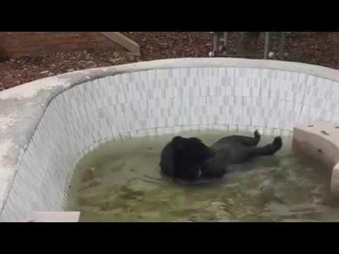 Bärin Hy Vong darf zum ersten Mal in ihrem Leben baden gehen