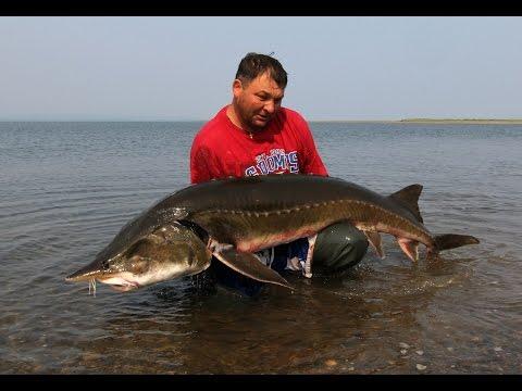 когда можно ловить рыбу калуга