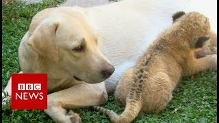 The little lion cub raised by a dog- BBC News