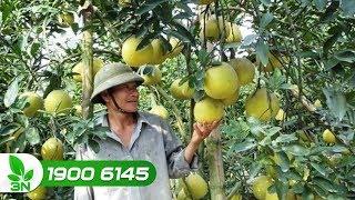 Trồng trọt | Tình trạng cây bưởi bị héo xanh lá có cách nào khắc phục?