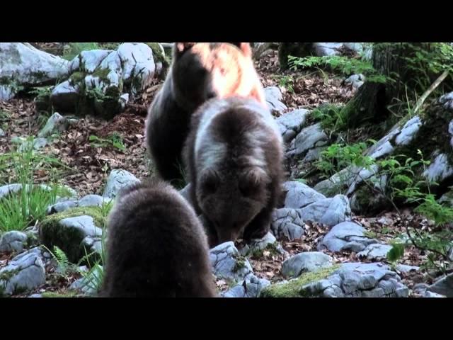 Medved, rjavi medved